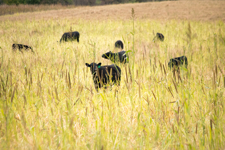 a group of black calves graze on native grasslands